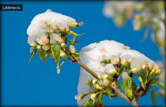 Влияние заморозков на яблони