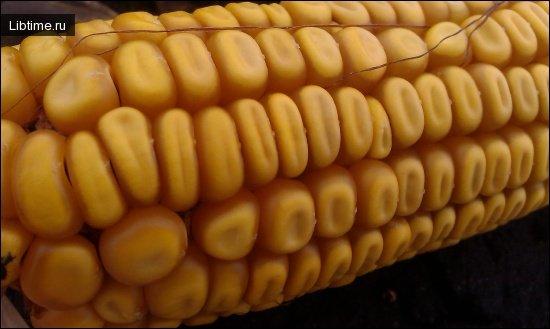Кукуруза, отличия кукурузы