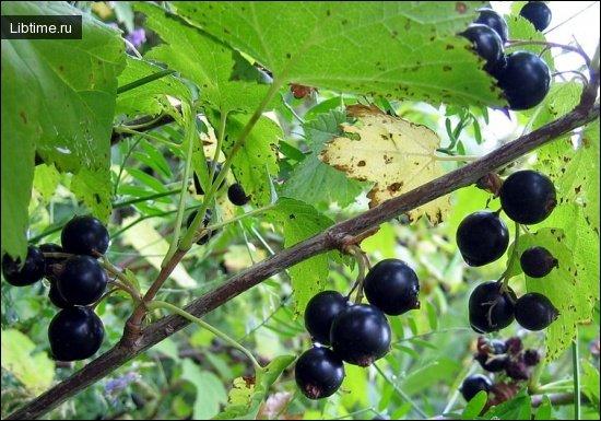 Черная смородина. Выращивание и уход