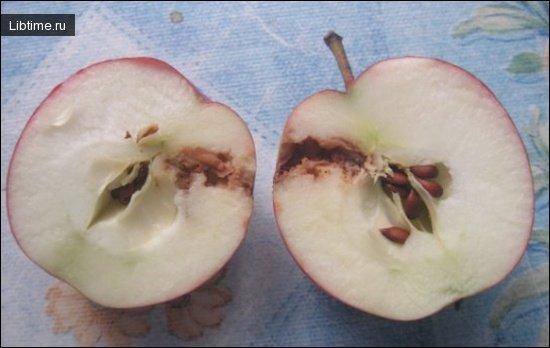 Яблоко, пораженное плодожеркой