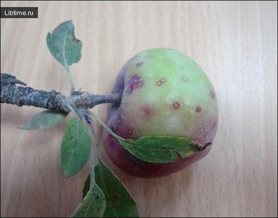 Яблоко, пораженное калифорнийской щитовкой