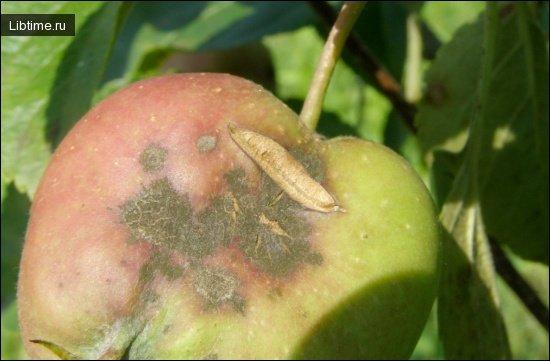 Грибковые болезни плодовых деревьев