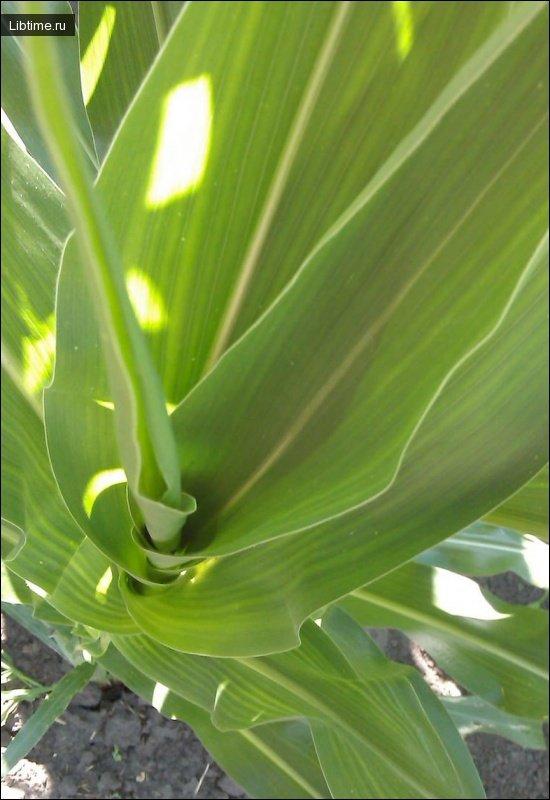 Листья кукурузы