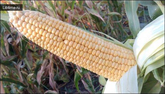 Ценность кукурузы