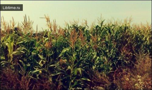 История кукурузы
