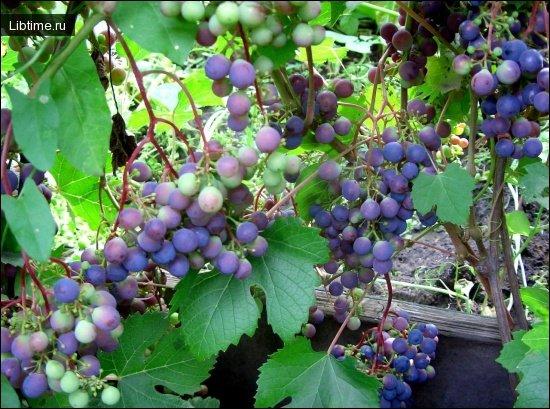 Периоды и фазы развития винограда