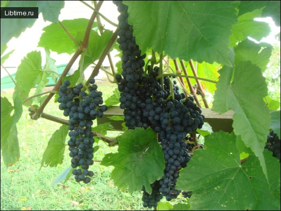 Сорт винограда Черный Сладкий