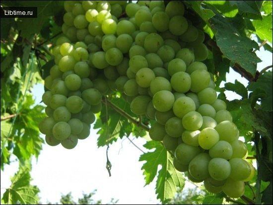 Сорт винограда Агадаи