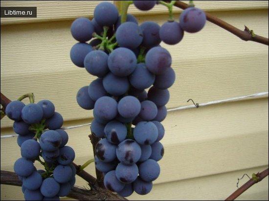Описание сортов винограда