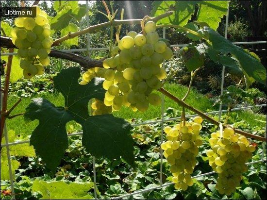 Сорт винограда Королева виноградников