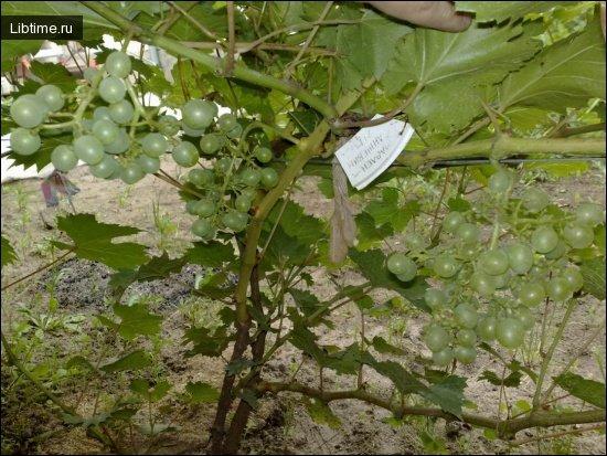 Сорт винограда Мадлен Анжевин