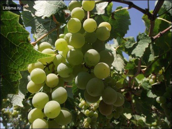 Сорт винограда Ноа