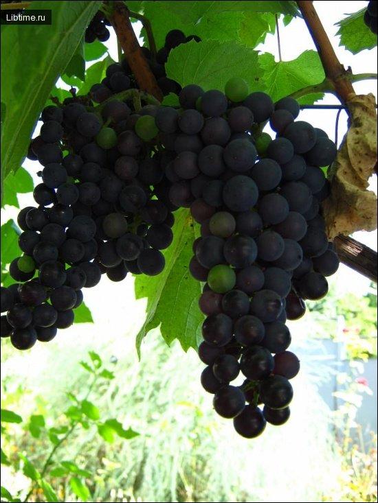 Сорт винограда Португизер