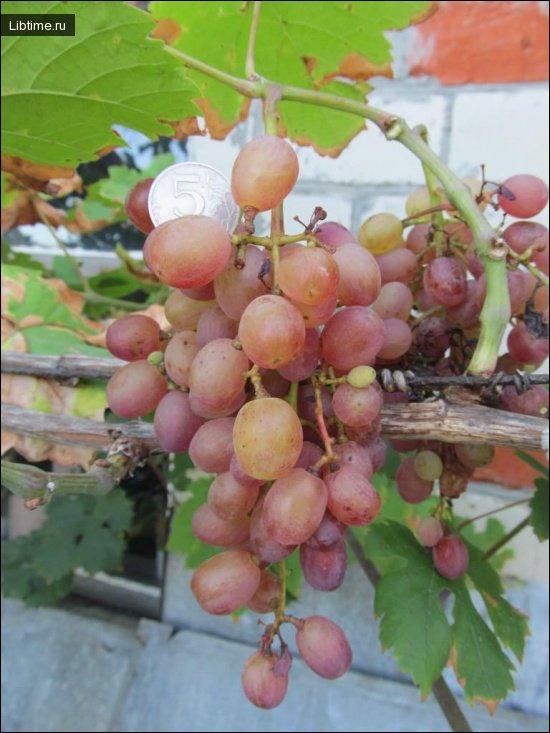 Сорт винограда Шасла