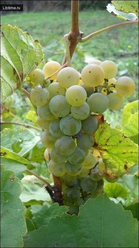 Сорт винограда Жемчуг Саба