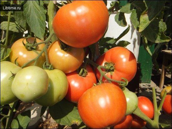 Созревание плодов помидор
