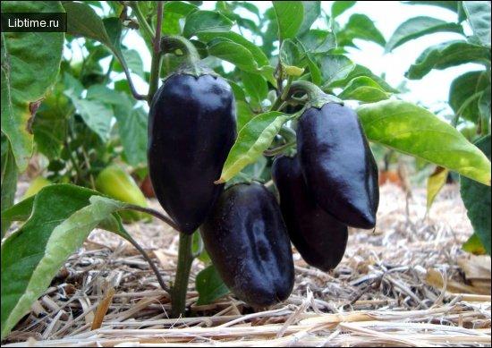 Сладкий черный перец