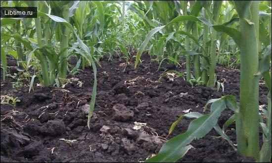 Выращивание сахарной курузы