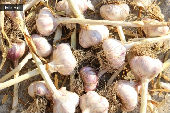 Выращивание чеснока