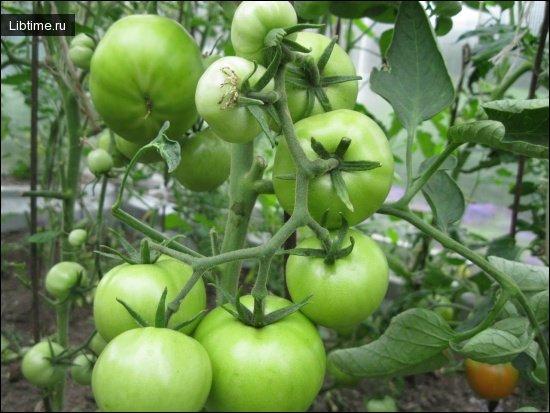 Соление помидоров в бочке