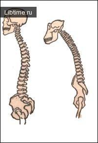 Скелет человека и шимпанзе