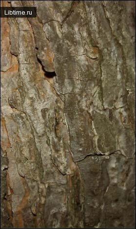 Ориентирование в лесу по коре дерева