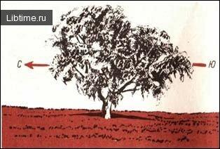 Крона отдельно стоящего дерева