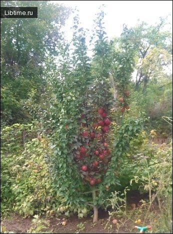 Биологические особенности плодовых деревьев