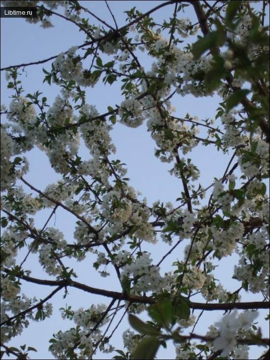 Цветет черешня Апрелька