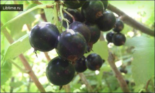 Черная смородина - ягода
