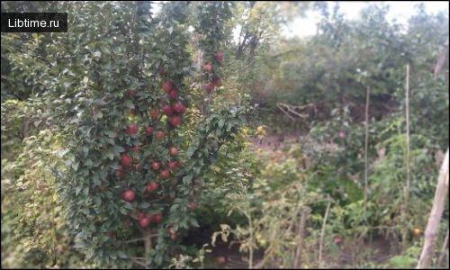 Яблони карликовые и полукарликовые