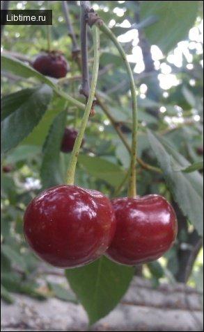 Сорт вишни Подбельская