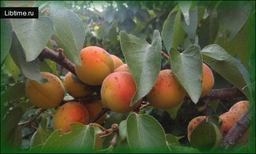 Краснощекий абрикос