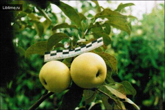 Пепника литовская