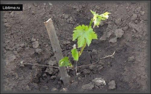 Саженец винограда с колом