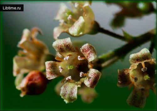 Смородина цветет - фото