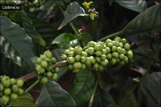 Кофе растет