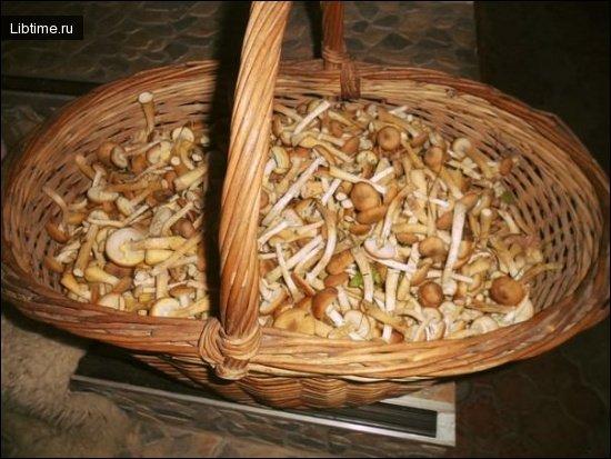Корзина - лучшая тара для сбора грибов