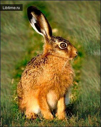 Маньчжурский заяц