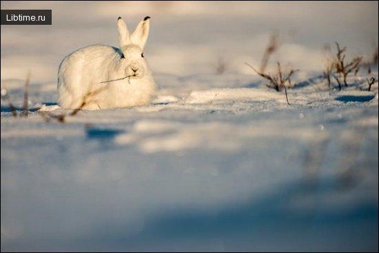 Фото зайца-беляка
