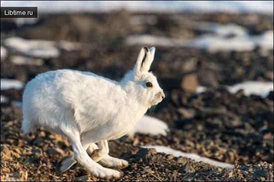 Описание зайца-беляка