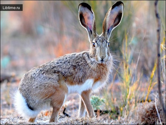 Описание зайца-русака