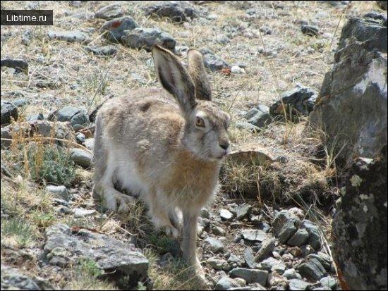 Заяц-толай (песчанник) и маньчжурский заяц