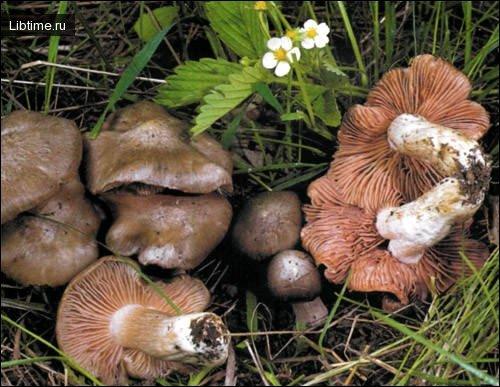 Весенние грибы-Розовопластинник