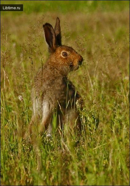 Образ жизни зайцев