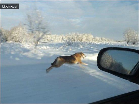 Паратость гончей собаки
