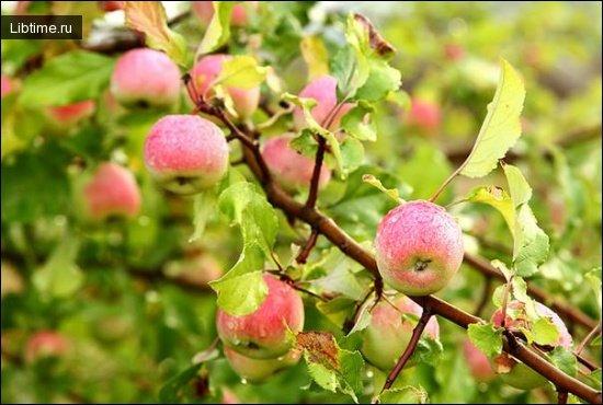 Дикорастущие яблоня и груша