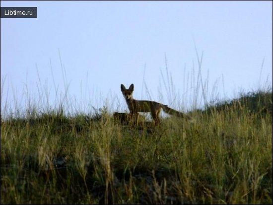 Лисица в траве