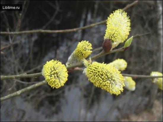 Цветет ива-бредина
