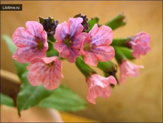 Растение медуница